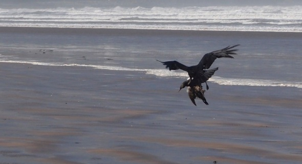 raven moving guillemot, westward ho! (pward 2013)
