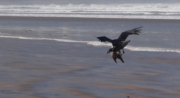 raven moving guillemot, westward ho! (pward 2013)