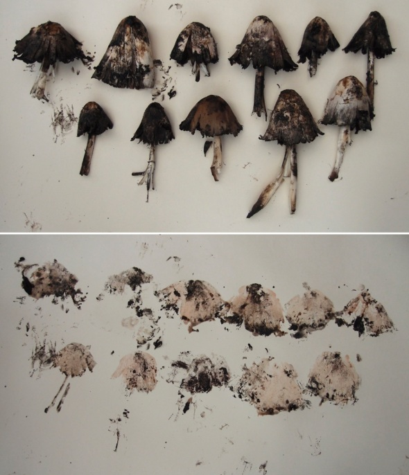ink-cap prints (© p ward:f owen 2013)