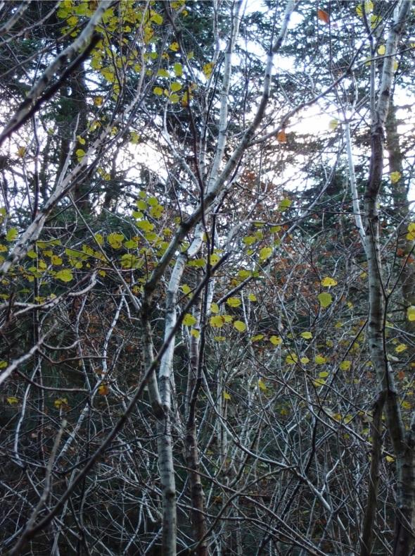 hazel leaves, huntshaw woods (p ward 2013)