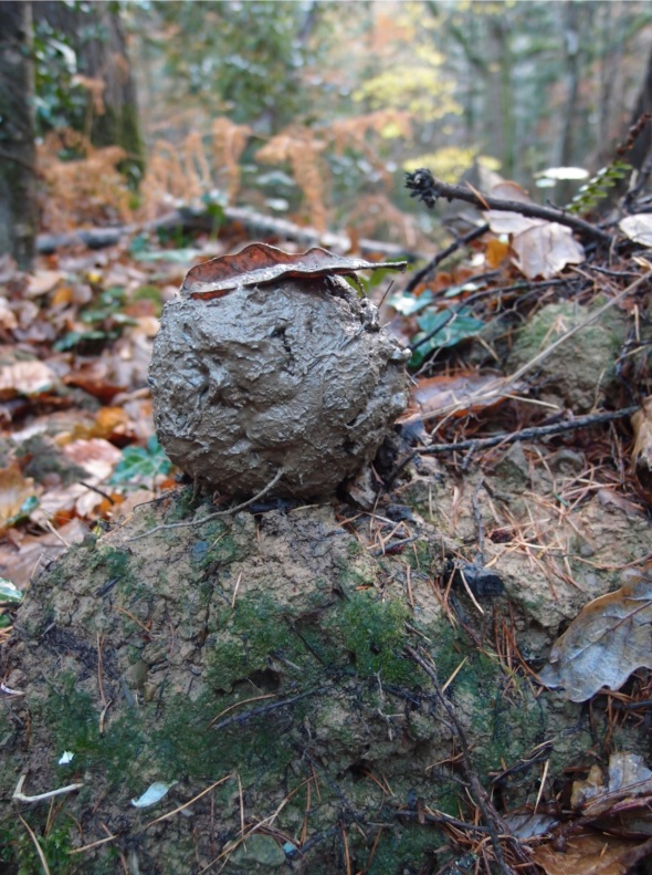 mud ball, huntshaw woods (p ward 2013)