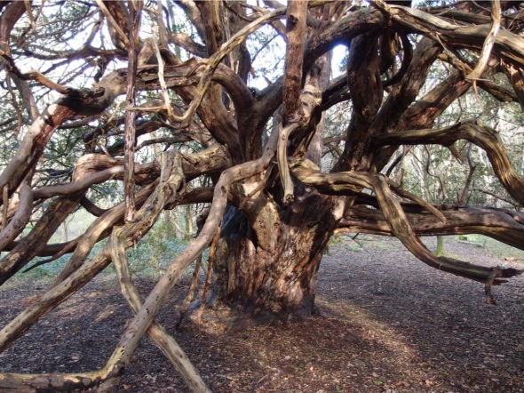 ancient yew, kingley vale, west sussex 1 (p ward 2013)