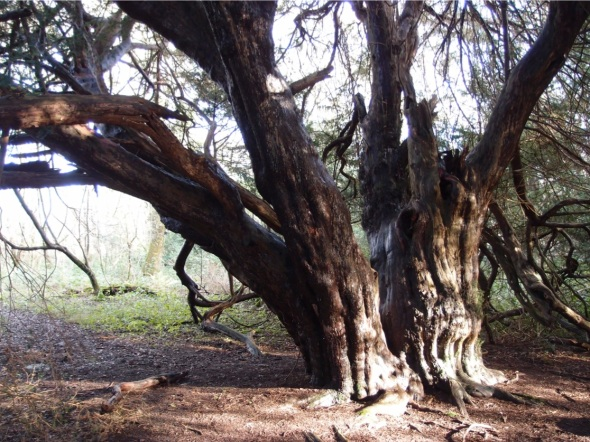 ancient yew, kingley vale, west sussex 2 (p ward 2013)
