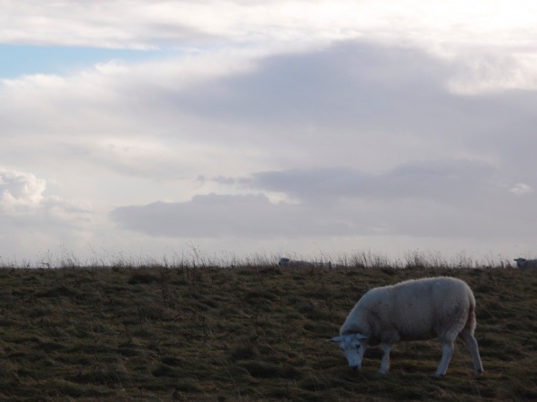blue sheep, harting hill, west sussex (p ward 2013)