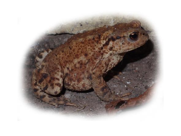common toad (bufo bufo), dale, pembrokeshire, p ward 2014