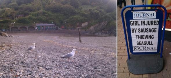 herring gulls:public enemy number 1!, ilfracombe (© p ward 2014)