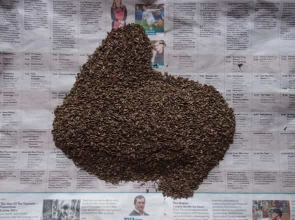 fennel seed shape II (© p ward 2014)