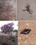 ant highway, roadkill toad, pink flowers, white admiral butterfly; sali, dugi otok, croatia © p ward2017